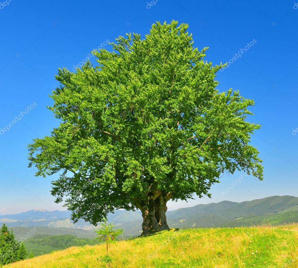 drzewo lato zdj cie stockowe ldenis 83211704. Black Bedroom Furniture Sets. Home Design Ideas