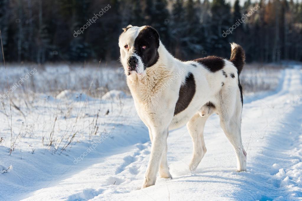 Alabai alabai dog — stock photo © camptoloma #54046273