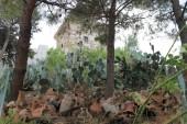 Cactus zelená Velká hruška s ovocem Turecko