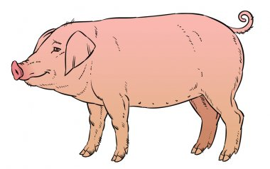 color hand drawing of domestic pig