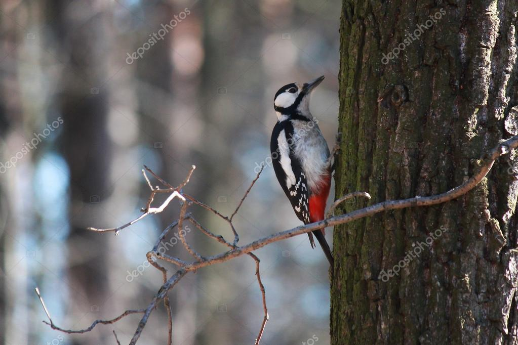 Woodpecker - the orderly forest.