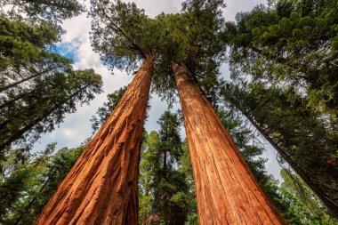Giant Sequoias Fores in California Sierra Nevada Mountains
