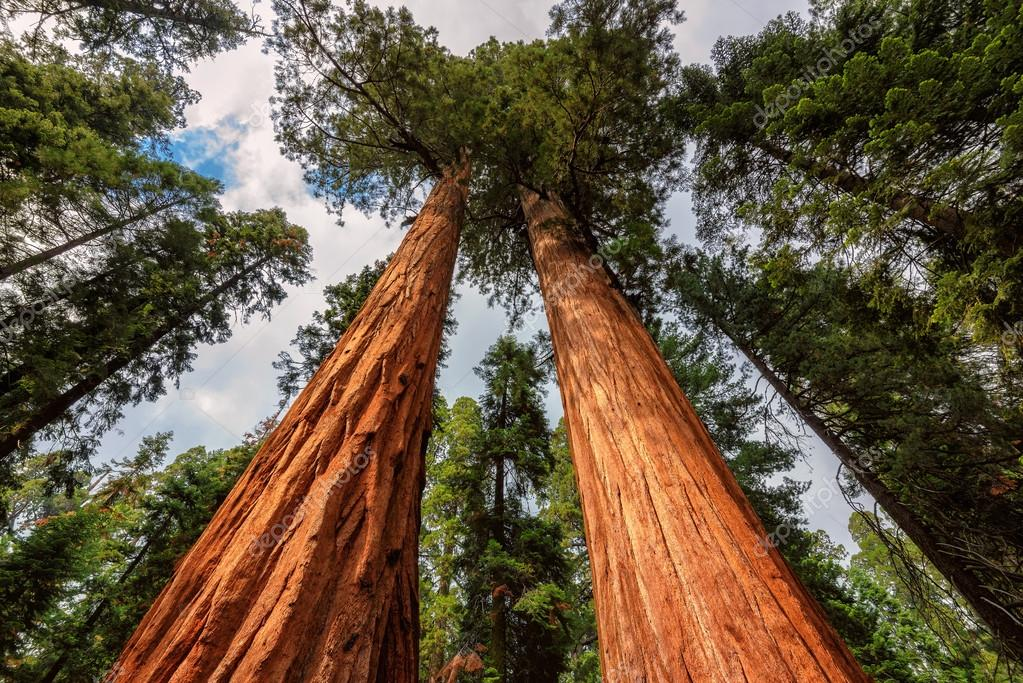 Giant Sequoias Fores in California Sierra Nevada Mountains