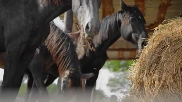 černí koně na statku stojí venku