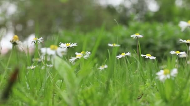 Chamomile in green grass with bird singing without stabilization