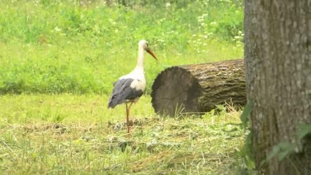 Looking For Food Stork Is Walking