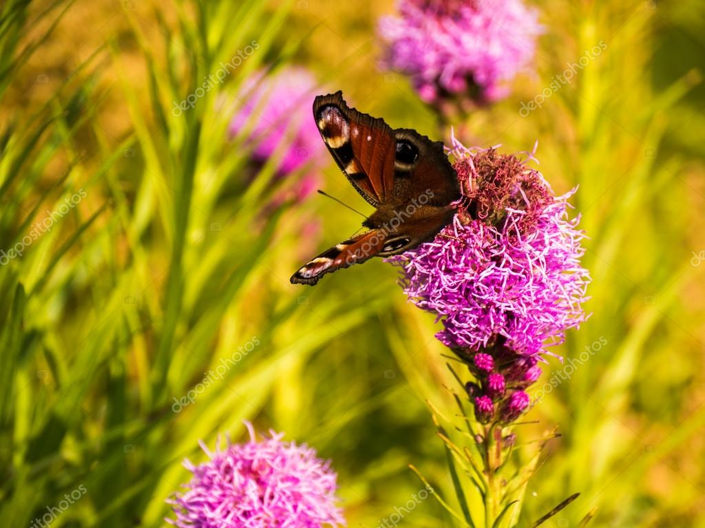 buterfly in the garden with pink flower