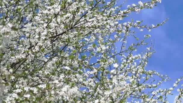 Pobočka kvetoucí třešeň
