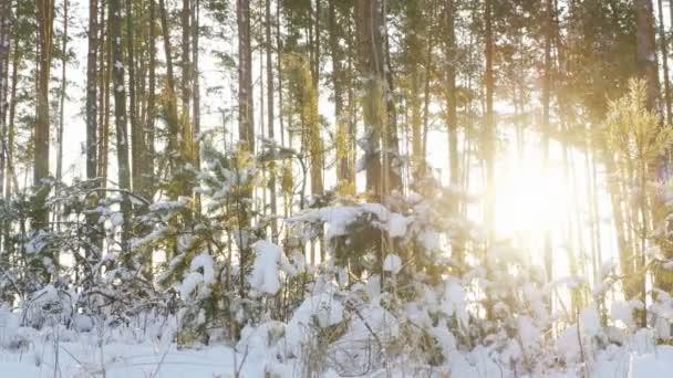 Vysokými borovicemi v zimním lese s paprsky slunce