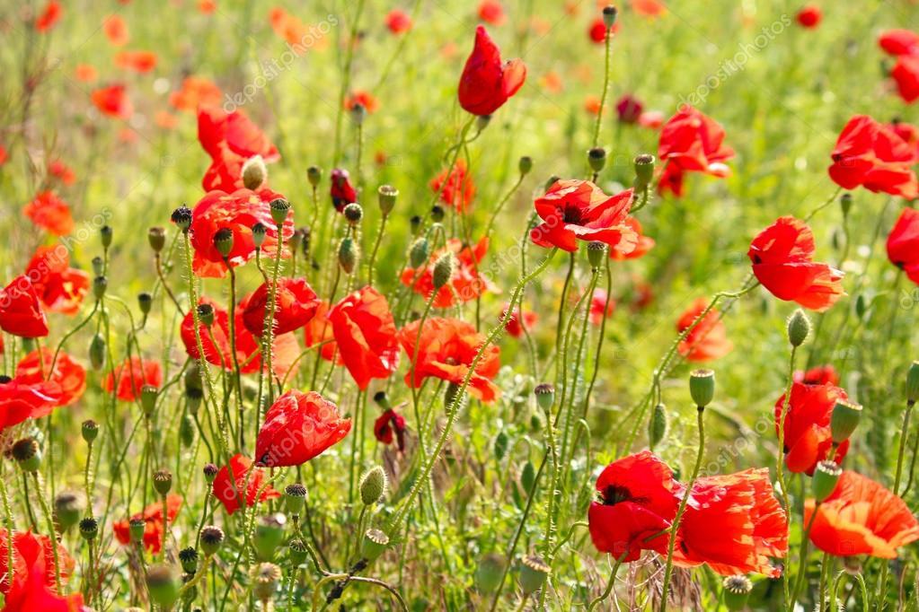赤いけしの花 — ストック写真 © ...