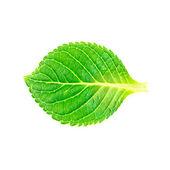 Krásný tvar zelených listů na bílém pozadí