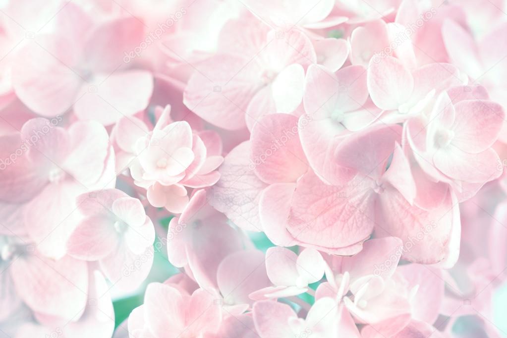 Fleurs d\u0027hortensia pastel doux sur fond blanc \u2014 Photographie