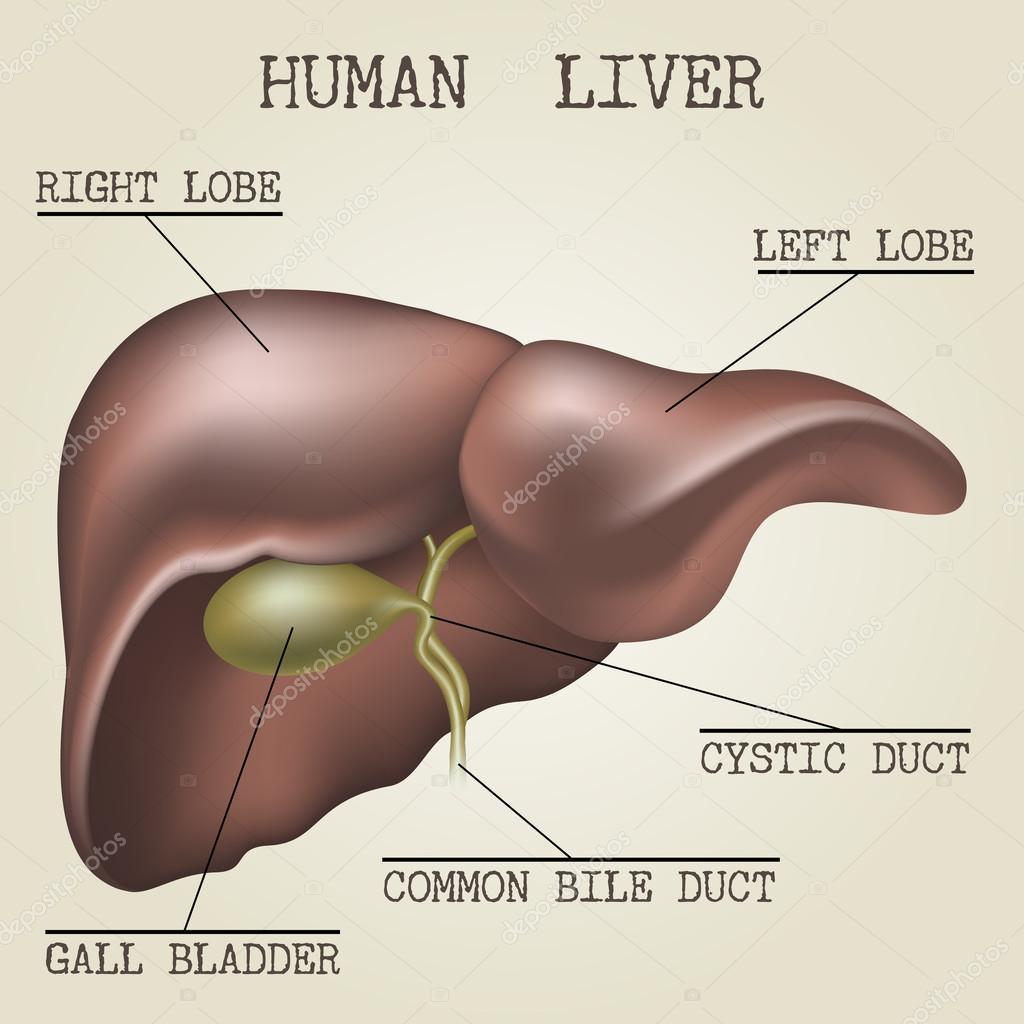 Ilustración de la anatomía humana del hígado — Vector de stock ...