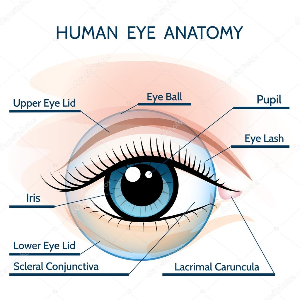 Human Eye Anatomy Stock Vector Bogadeva 80180390