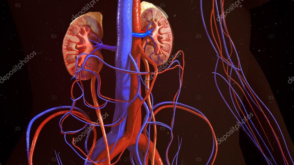 menselijke nieren anatomie — Stockfoto © sciencepics #106796382