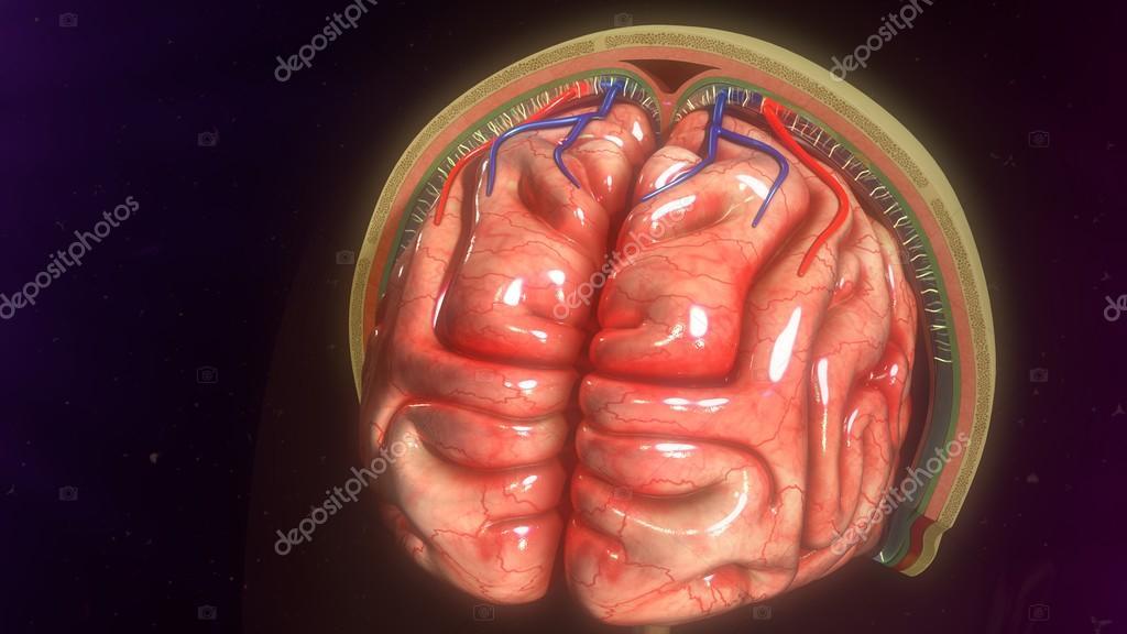 meninges del cerebro humano — Foto de stock © sciencepics #106797506