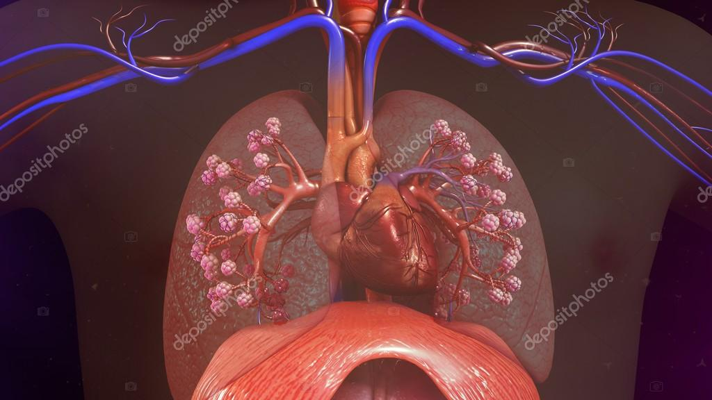 Human Lungs with heart — Stock Photo © sciencepics #106797720