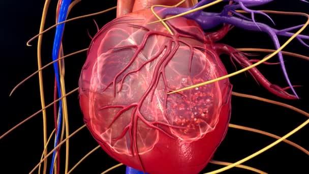 Vérkeringést, a szív