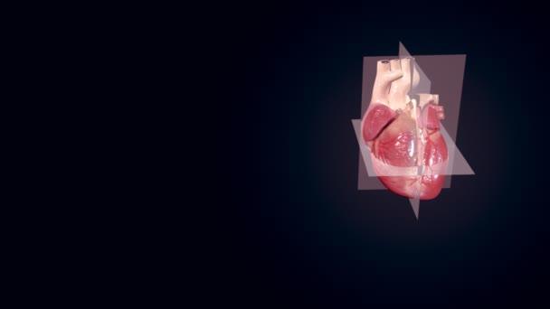 lidské srdce echo kardiogram