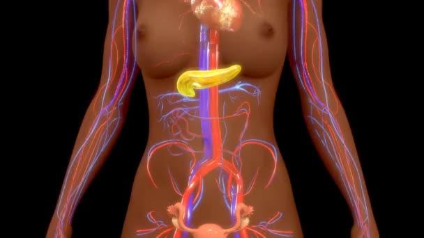 lidského pankreatu varhany