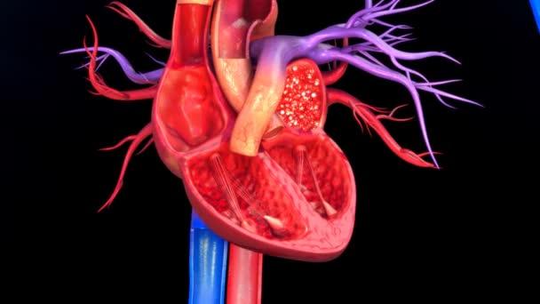 Funkční anatomie lidského srdce