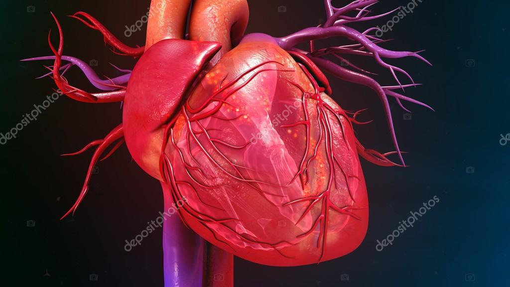 Human Heart anatomy — Stock Photo © sciencepics #112248656