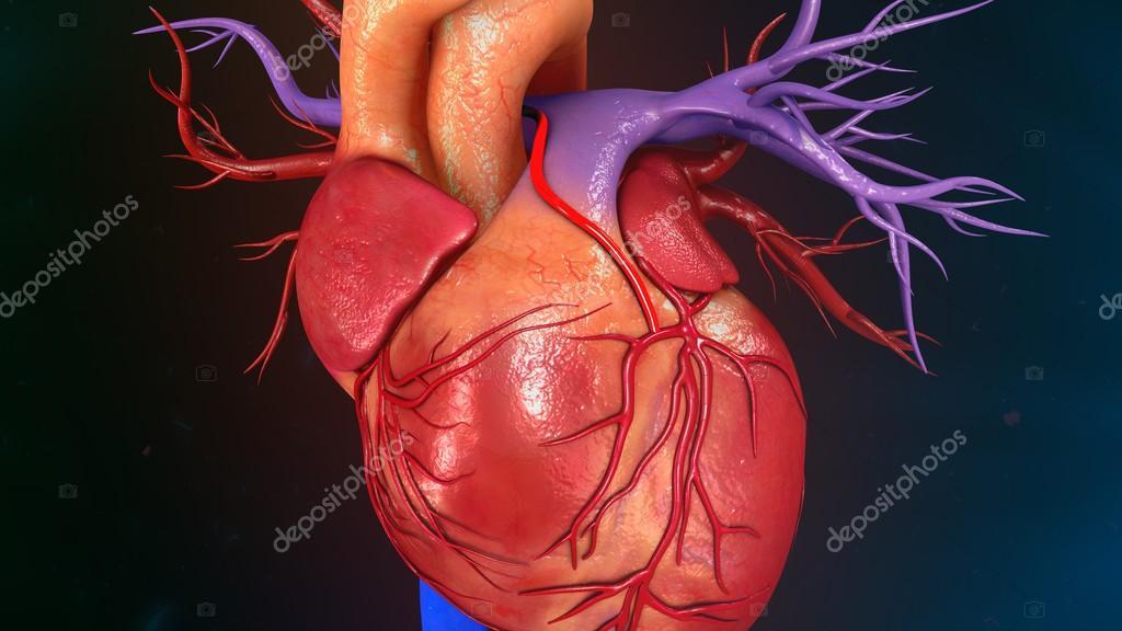 Anatomía del corazón humano — Fotos de Stock © sciencepics #112248816