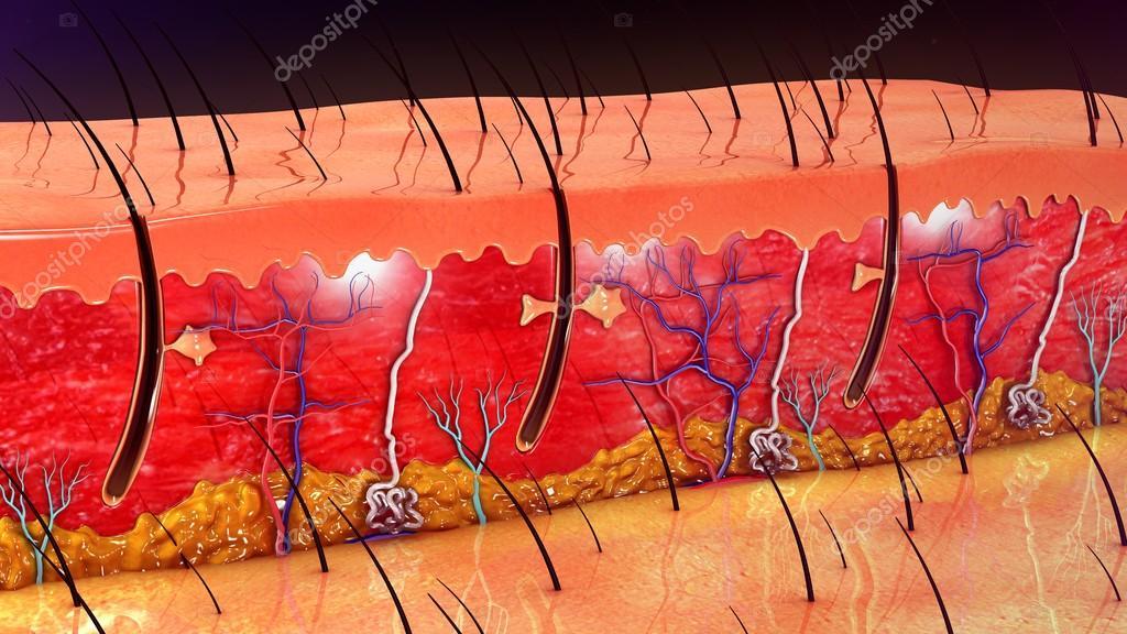 Anatomie der menschlichen Haut — Stockfoto © sciencepics #112257352