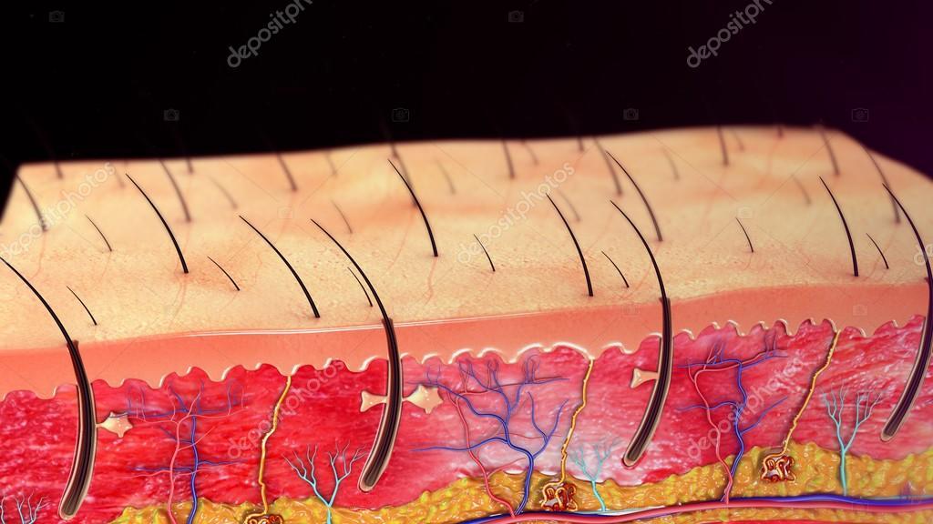 Anatomie der menschlichen Haut — Stockfoto © sciencepics #112257398