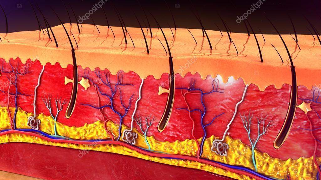 Anatomie der menschlichen Haut — Stockfoto © sciencepics #112257404