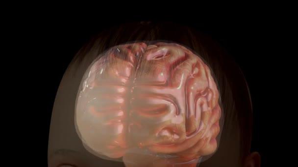 Anatomie des menschlichen Gehirns