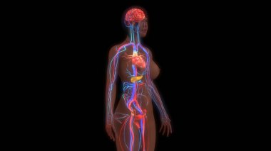 human organism anatomy