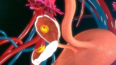 Fertilised egg in ovary