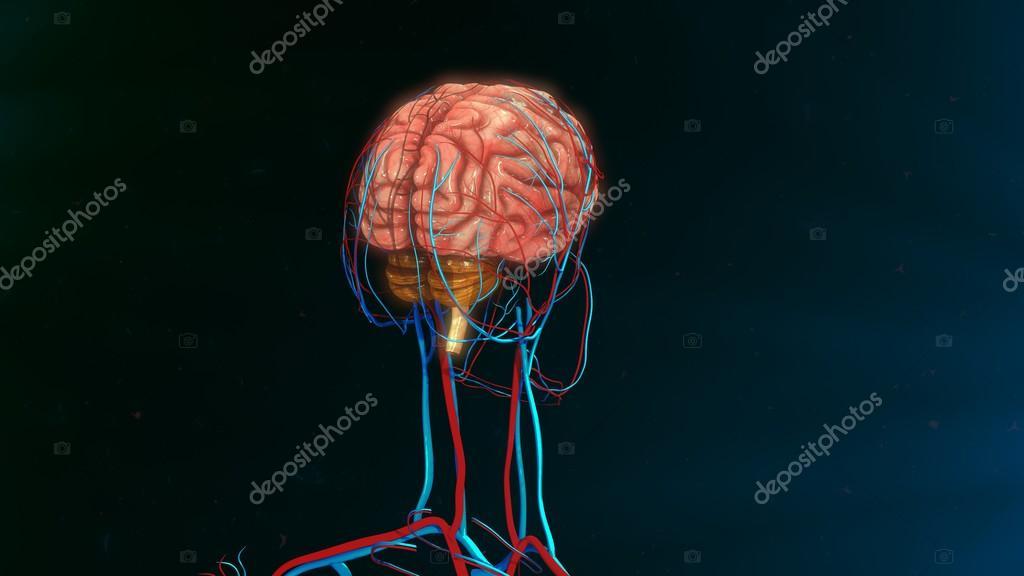 human brain anatomy — Stock Photo © sciencepics #114328178