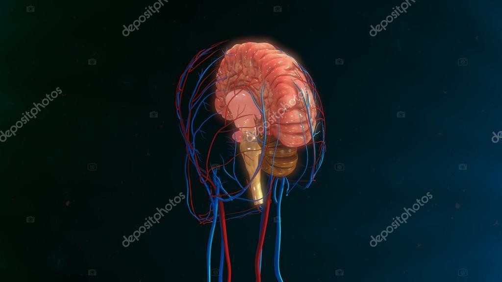 Anatomía del cerebro humano — Foto de stock © sciencepics #114328196
