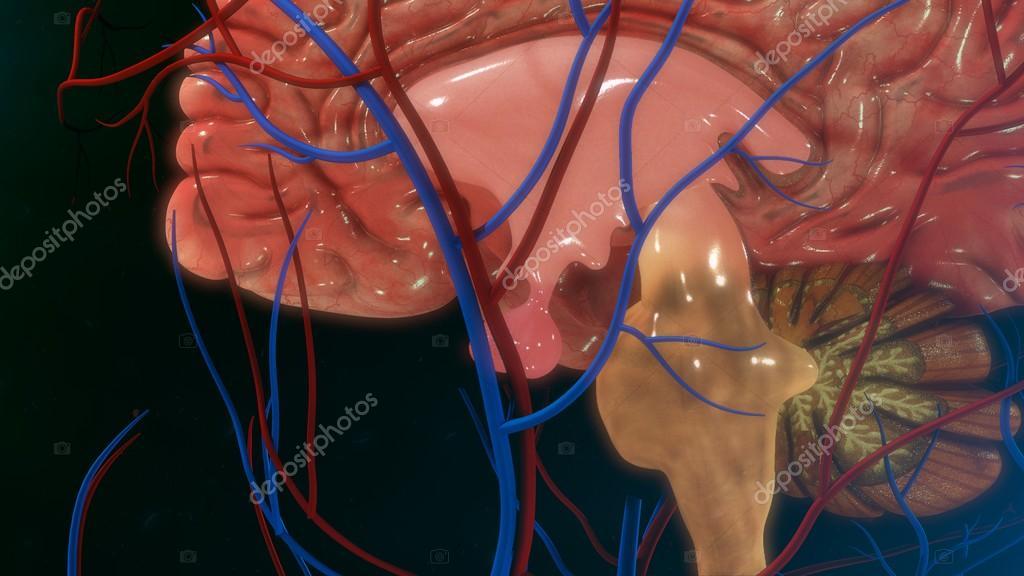 Anatomía de la glándula pituitaria — Foto de stock © sciencepics ...