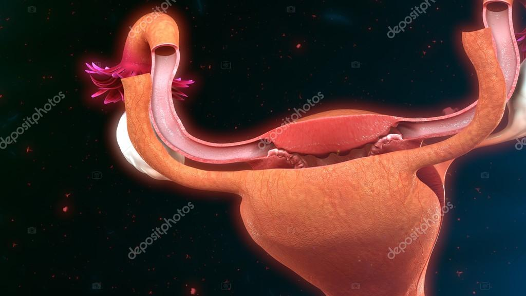 Female Uterus Anatomy Stock Photo Sciencepics 114329058