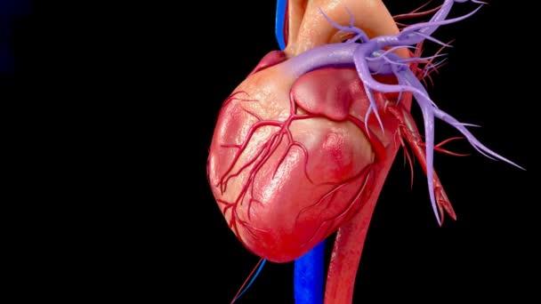 anatomie lidského srdce