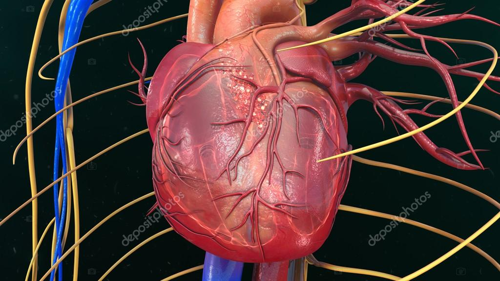 Menschliches Herz Anatomie — Stockfoto © sciencepics #118970356