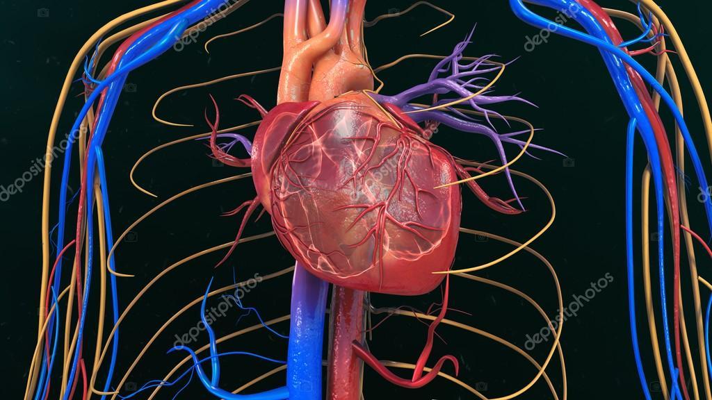 Menschliches Herz Anatomie — Stockfoto © sciencepics #118970364