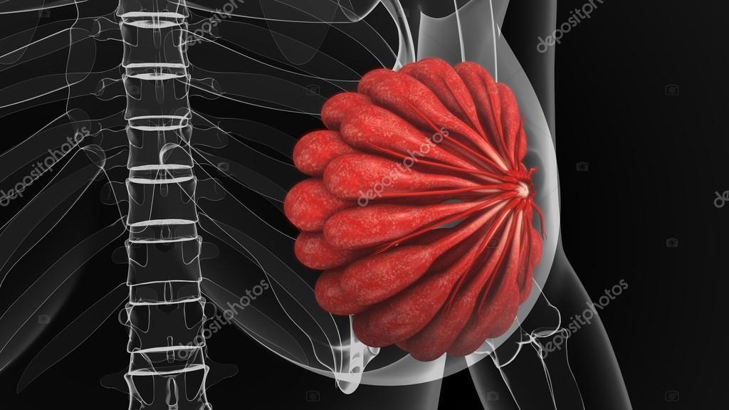 glándulas mamarias humanas — Fotos de Stock © sciencepics #118970554