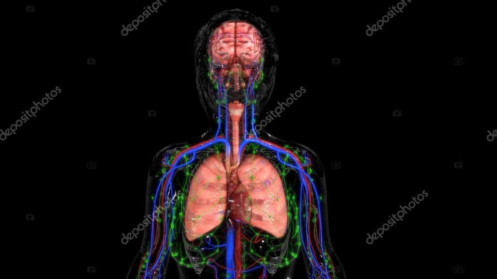 Anatomie der menschlichen Organen — Stockfoto © sciencepics #118970560