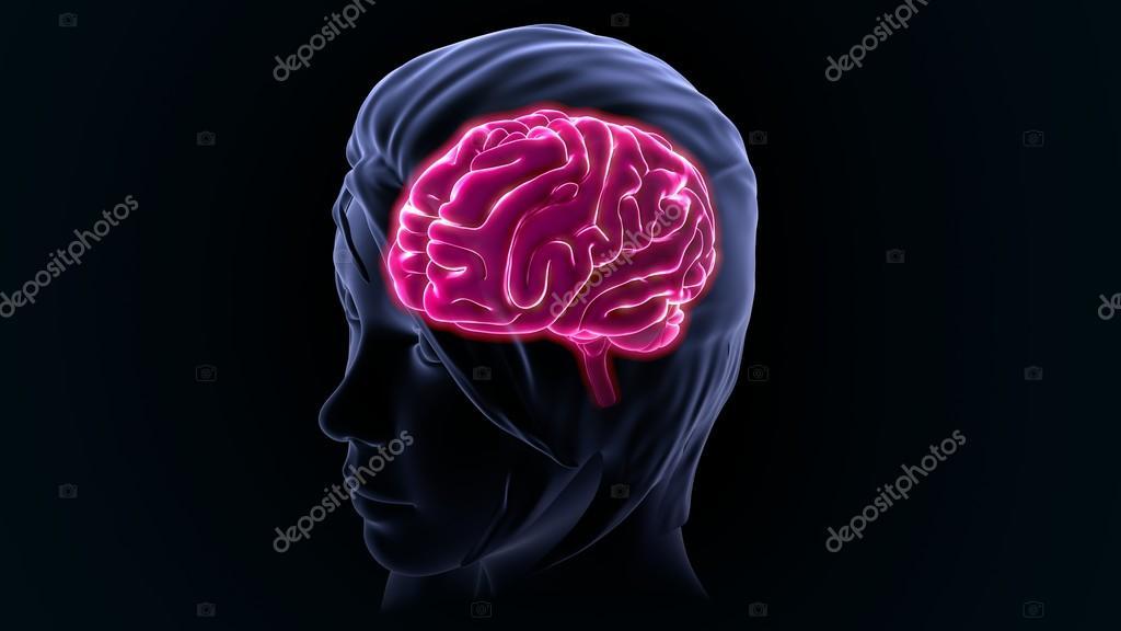 Human Brain Anatomy Stock Photo Sciencepics 118970604