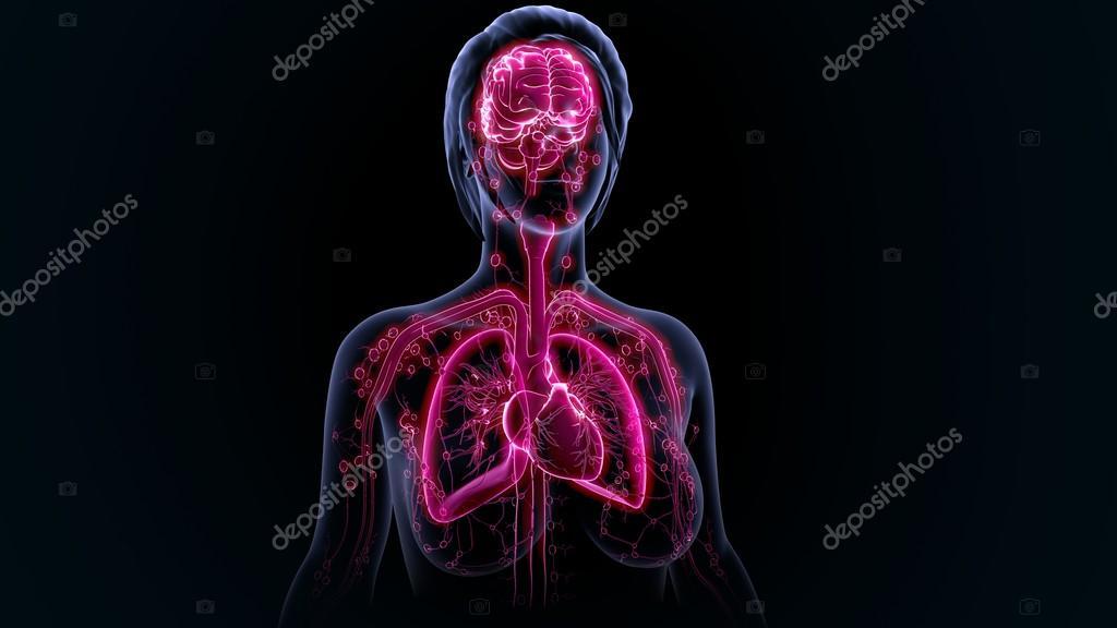 Anatomía de los órganos humanos — Fotos de Stock © sciencepics ...