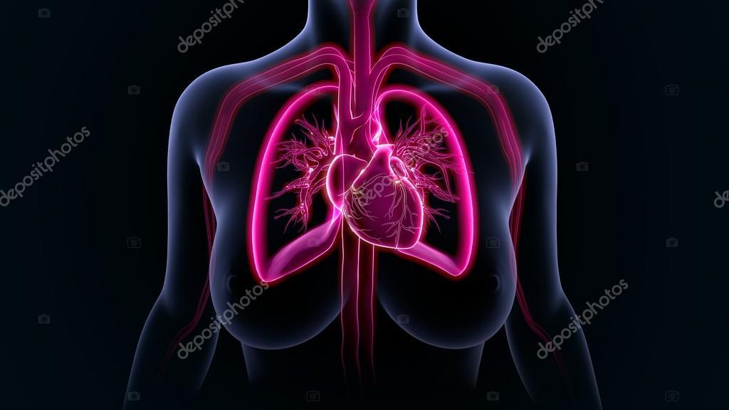 Menschliche Lunge mit Herz — Stockfoto © sciencepics #118970624