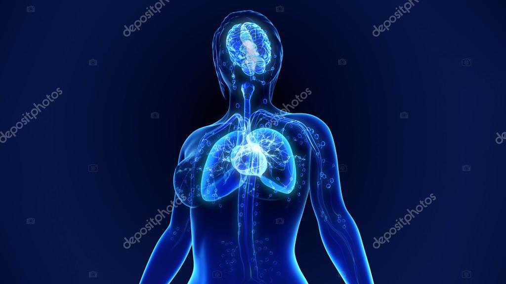 Anatomie der menschlichen Organen — Stockfoto © sciencepics #118970760