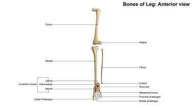human leg bones skeleton