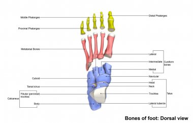 human foot bones skeleton
