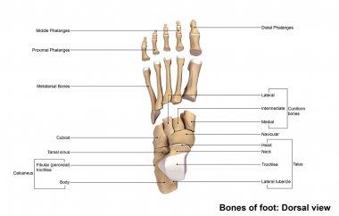 human foot bones skeleton