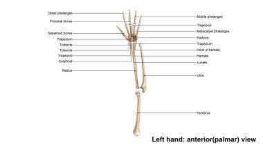 Human Left Hand Skeleton